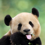 National Zoo Live Tweets Panda Articial Insemination with #pandaAI